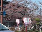 弘前城桜.jpg